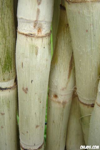 Bamboo iPhone Wallpaper