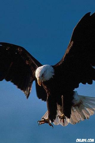 Eagle iPhone Wallpaper