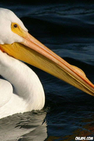 Pelican iPhone Wallpaper