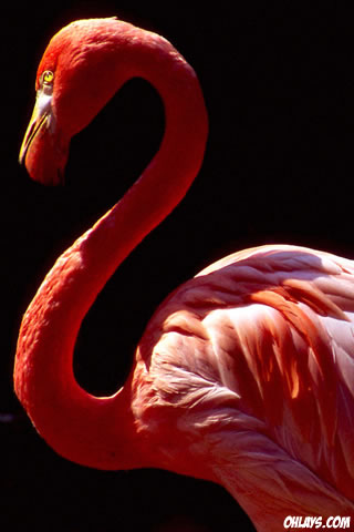 Flamingo iPhone Wallpaper