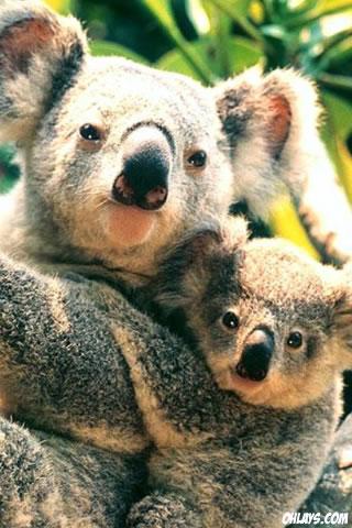 Koala iPhone Wallpaper