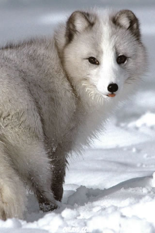 Arctic Fox iPhone Wallpaper