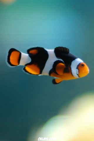 Clown Fish iPhone Wallpaper