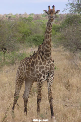 Giraffe iPhone Wallpaper