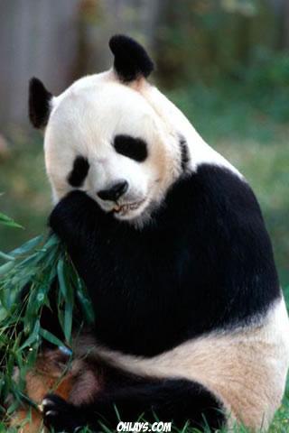 Panda iPhone Wallpaper