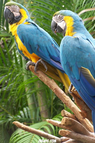 Parrots iPhone Wallpaper
