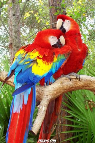 Parrots iPhone Wallpaper