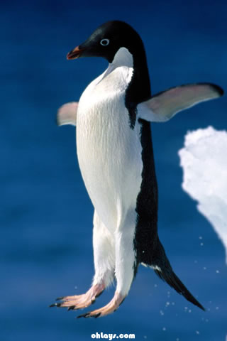 Penguin iPhone Wallpaper