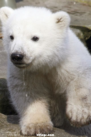 Polar Bear iPhone Wallpaper