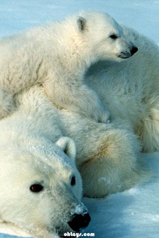 Polar Bear Iphone Wallpaper 803 Ohlays