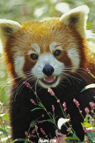 Red Panda iPhone Wallpaper