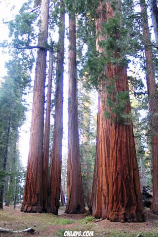 Redwood iPhone Wallpaper
