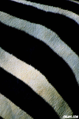 Zebra iPhone Wallpaper
