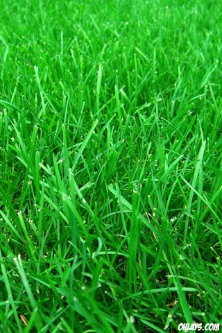 Grass iPhone Wallpaper