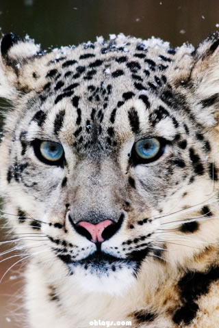 Snow Leopard iPhone Wallpaper