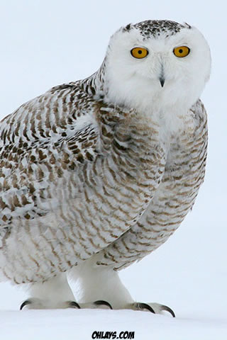 Snowy Owl iPhone Wallpaper