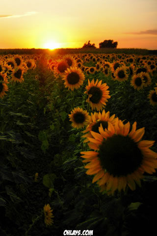 Sunflower Field IPhone Wallpaper