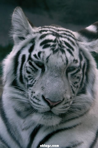 Tiger iPhone Wallpaper