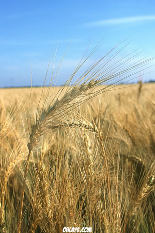 Wheat iPhone Wallpaper