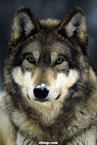 wolf wallpaper. Wolf iPhone Wallpaper